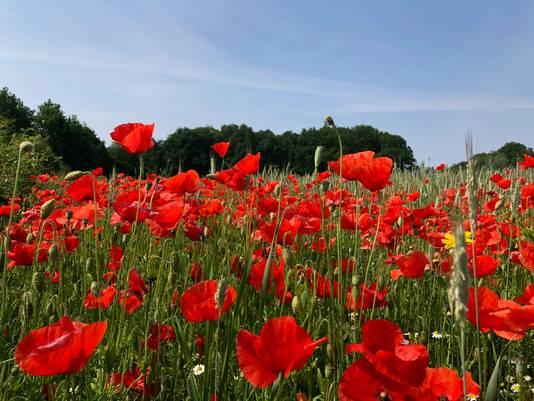 De klaprozen, symbool voor de opa van Wim Saris, staan weelderig in bloei. Foto Bettina Verleg