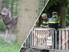 Een van ontsnapte wolven uit DierenPark Amersfoort dood gevonden: 'Dit komt hard aan'