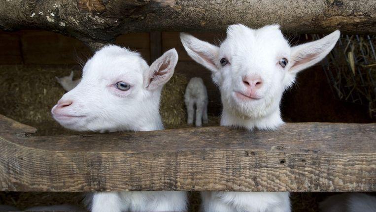 Jonge geitjes op een kinderboerderij Beeld ANP
