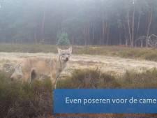 Bijzondere beelden van wolvin op wildcamera's op de Zuid-Veluwe
