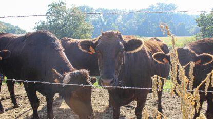 150 euro voor een kilootje entrecôte: waarom de runderen van Hof van Ossel haast vleesgeworden kaviaar zijn