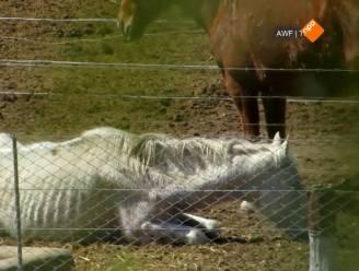 """Dierenorganisaties boos om wetenschappelijk label voor paardenvlees: """"KU Leuven laat zich voor kar van vleesindustrie spannen"""""""