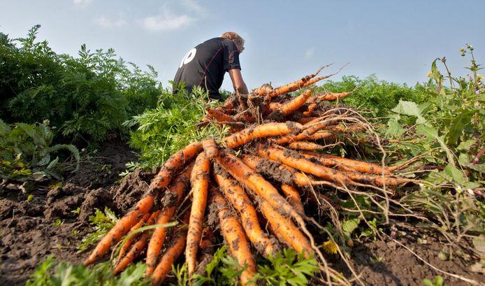 Er komen misschien wel tot de helft minder wortelen uit de volle grond bij akkerbouwers.