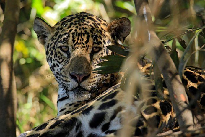 50% de l'habitat d'origine du jaguar a déjà été détruit en Amérique du Sud, selon le WWF.