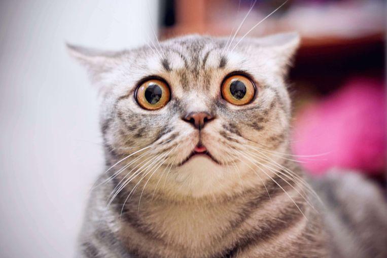 Katten worden niet graag bij de snorharen getrokken. Beeld Shutterstock
