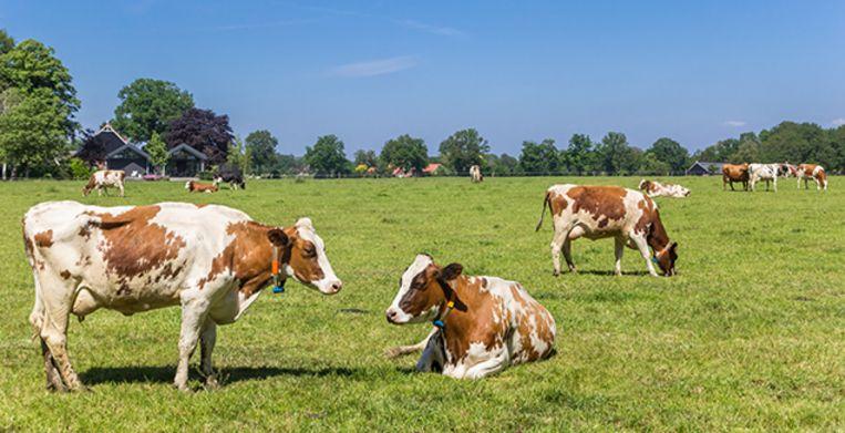 Red Holstein cows in the dutch landscape near Ootmarsum in Twente, Overijssel Beeld Getty Images/iStockphoto