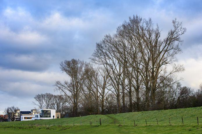 De rij populieren langs de IJsseldijk bij Park Helbergen verdwijnt nu helemaal. De laatste bomen gaan deze en volgende maand tegen de vlakte.