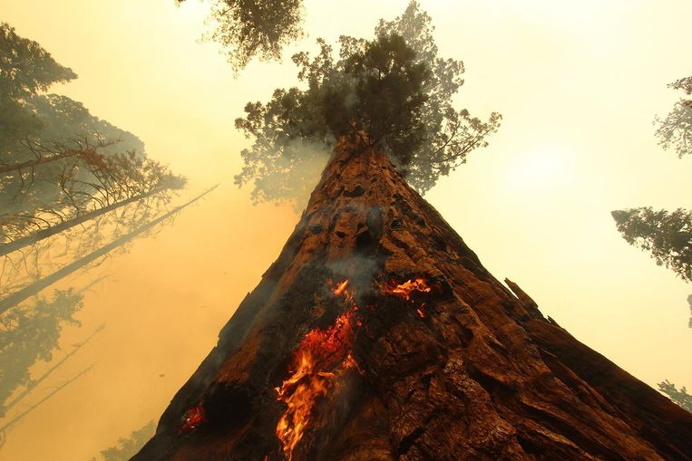 Het vuur schiet omhoog langs deze boom in het Sequoia National Forest inde Amerikaanse staat Californië. Honderden brandweermannen zijn ingezet om de eeuwenoude bomen te beschermen tegen de bosbrand die daar woedt. Ook deze boom is voorlopig gered. Beeld AFP