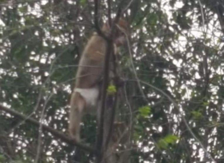De aap draagt een pamper.