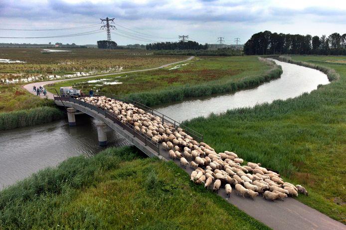 Schaapherder Huug Hagoort brengt zijn schapen naar een veilige plek vanwege het wassende water.