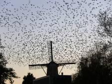 Spreeuwen verzamelen zich massaal op molen in Schiedam