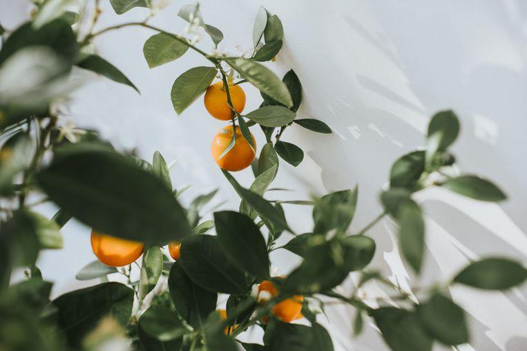 Citrusplant Beeld Getty Images