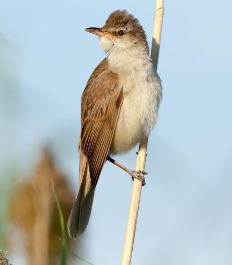 Meer moeras moet bijzondere vogels naar Rijnstrangen lokken