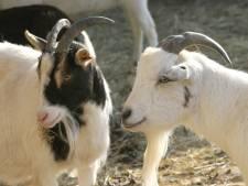 Bouwen bij geiten in Meierijstad roept veel vragen op