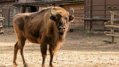 VIDEO. Europese bizon Ipolite uit Bellewaerde uitgezet in de natuur in Azerbeidzjan