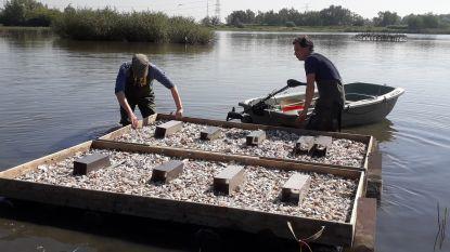 Natuurpunt lokt visdiefjes naar Noordelijk Eiland met nestvlotten