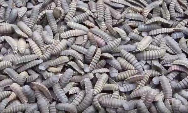 De larve van de zwarte soldatenvlieg wordt onder meer gebruikt als kippenvoer of als aas bij het vissen.