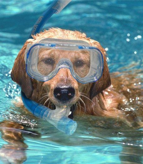 Honden sluiten zwemseizoen af in Boschbad Apeldoorn