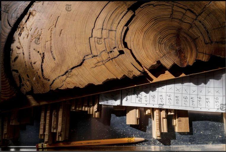 De jaarringen in het hout kunnen ongelofelijke dingen vertellen. Bijvoorbeeld hoe klimaatinstabiliteit mee het Romeinse Rijk ten val bracht. Beeld nytimes