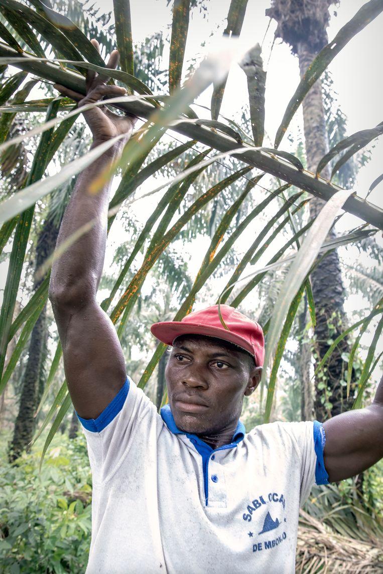 Een man oogst palmvruchten waar olie uit geperst wordt. Beeld Sven Torfinn
