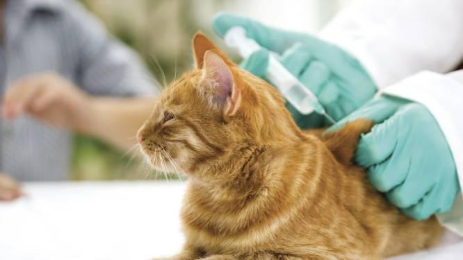Rotterdammers met katten opgelet! Dierenartsen zetten twee maanden lang gratis chips