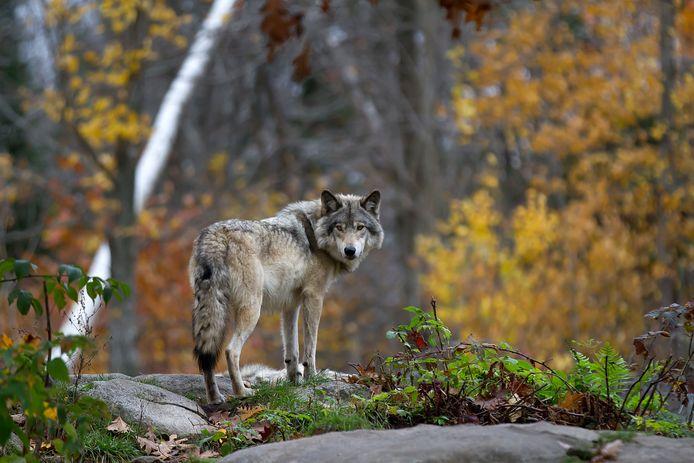 Wolf, ter illustratie.