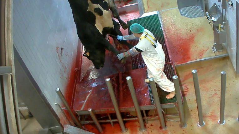 De videobeelden van Animal Rights brachten wantoestanden in het slachthuis van Izegem aan het licht. Beeld RV