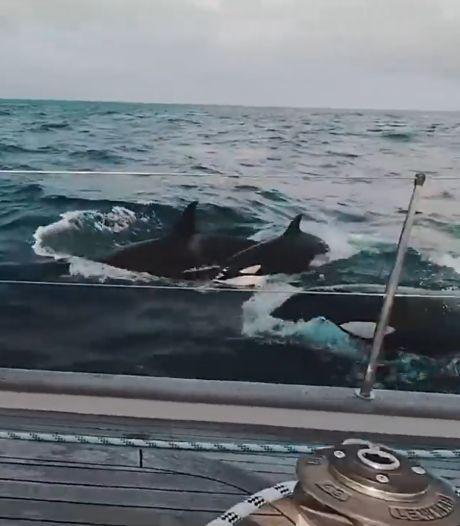 Un yacht de luxe attaqué par 30 orques