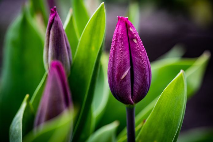 Een foto van een paarse Tulp.