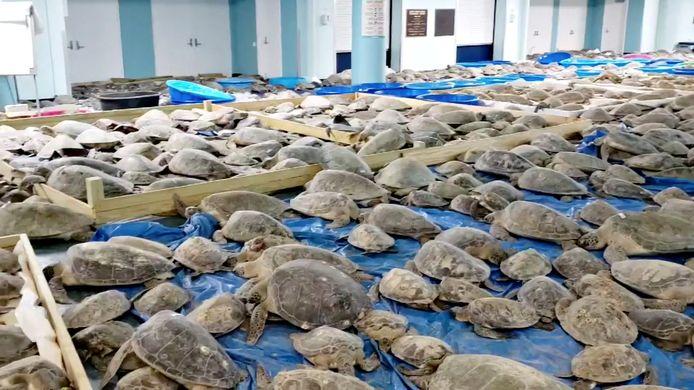 Des tortues sauvées, assommées par le froid, dans un centre à South Padre Island, Texas, États-Unis.