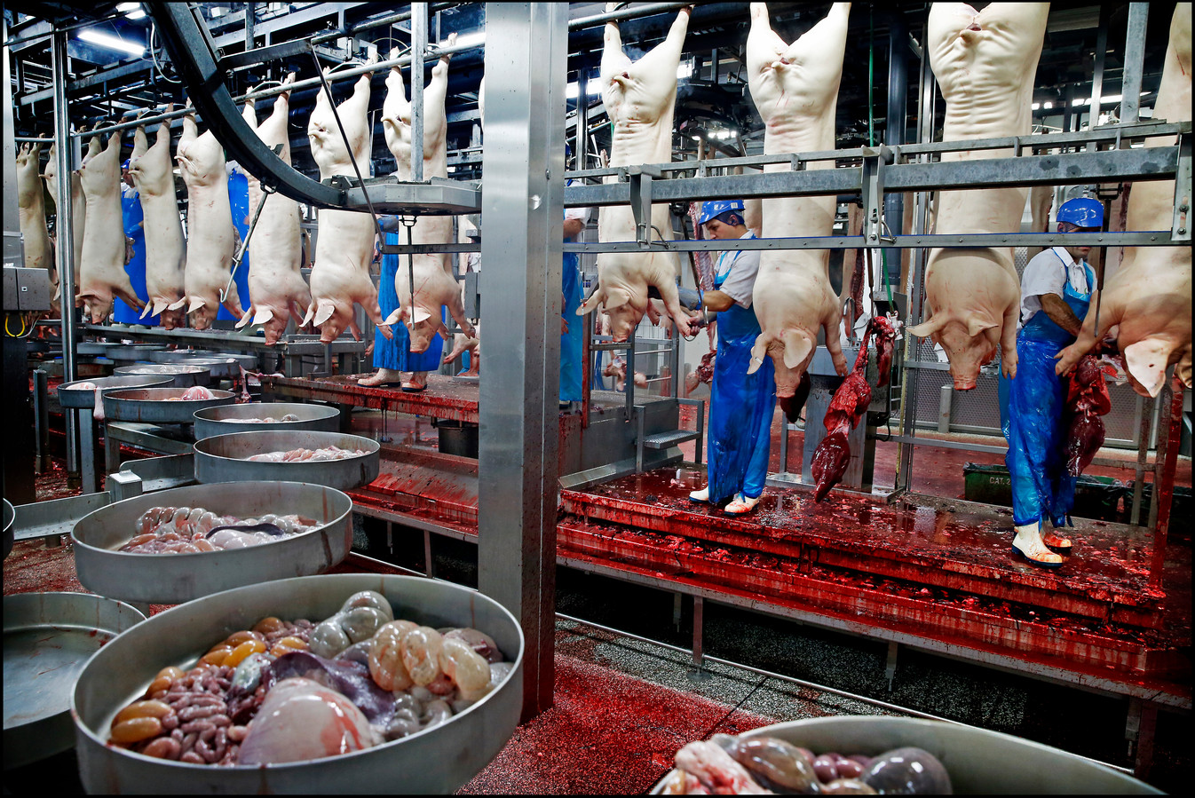 Archiefbeeld van een willekeurig slachthuis. De gedode varkens worden gereed gemaakt voor productie terwijl de ingewanden in een bak voorbijkomen.
