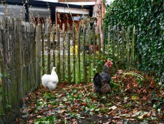 Risico op vogelgriep afgenomen, ophokplicht pluimvee bij particulieren niet meer nodig vanaf 6 april