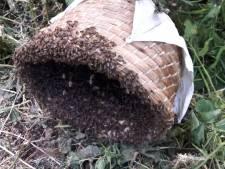 Bijenvolk zwermt door Maasdijk