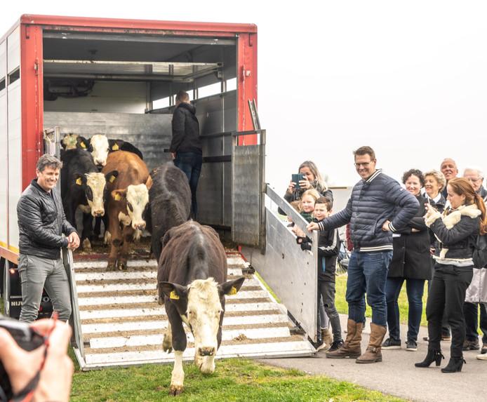 Oer Hollandse Koe Is Terug In De Zwolse Uiterwaarden Nu De