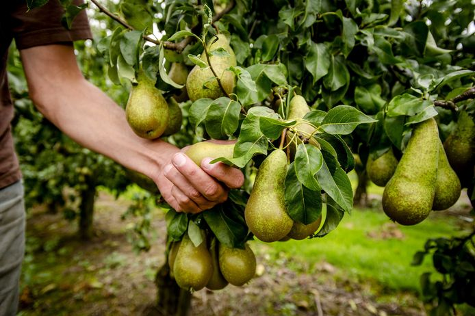 """""""Als de bomen al in volle bloei zouden staan, hadden deze erbarmelijke weersomstandigheden erger geweest. Dan zouden we minder stuks kunnen plukken en de peren zouden kleiner kunnen blijven"""", klinkt het bij twee fruittelers uit Sint-Gillis-Waas."""