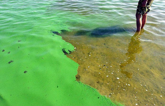 Blauwalg is te herkennen aan een groene of blauwachtige kleur van het water.