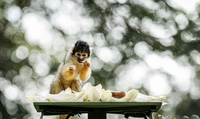 Apen worden getrakteerd op speciale taarten tijdens een feestje ter gelegenheid van de 45ste verjaardag van het dierenpark.