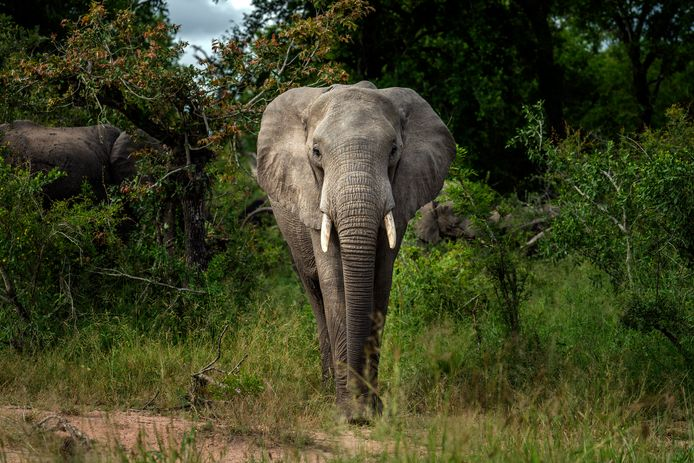 Een van de stropers werd vertrappeld door een kudde olifanten.