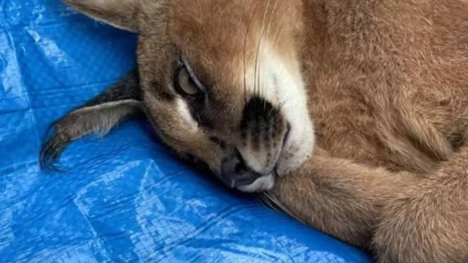 Eigenaar (24) van caracal aangehouden, man blijkt ook een brilkaaiman in huis te hebben