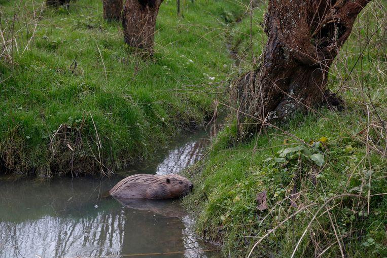 In natuurgebieden kan de bever meestal niet veel kwaad, wel bij landbouwgronden. Beeld buitenbeeld