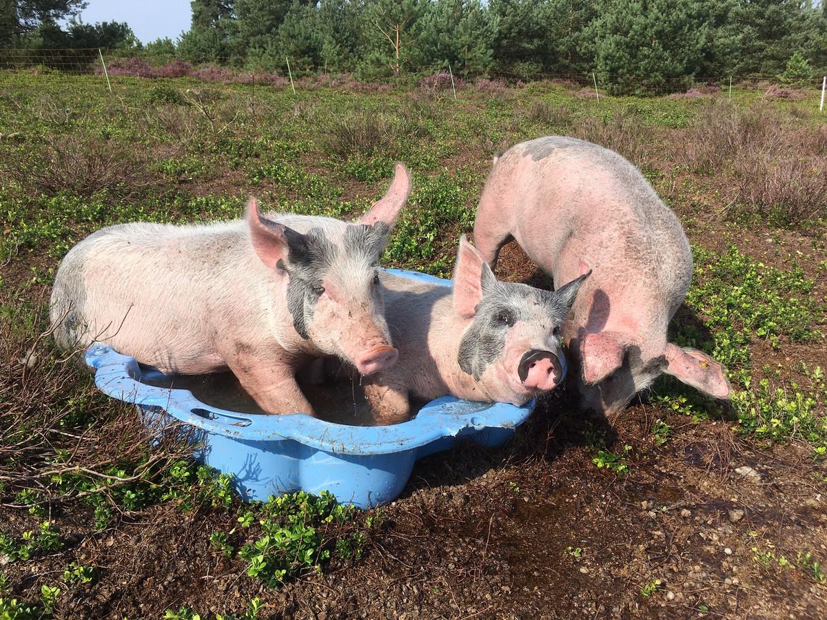 Varkens in een badje.