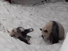 Schattig! Pandajong Fan Xing speelt voor het eerst in de sneeuw