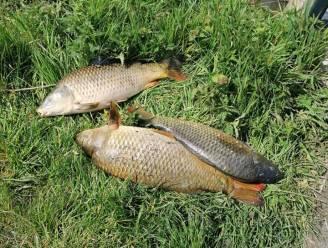 Twintigtal vissen dood aangetroffen in Poperingevaart