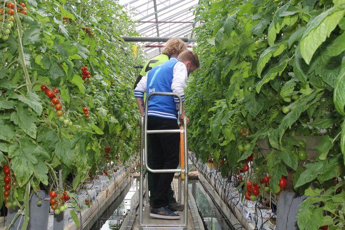 Tom Decock bekijkt de serres waar de school tomaten kweekt.
