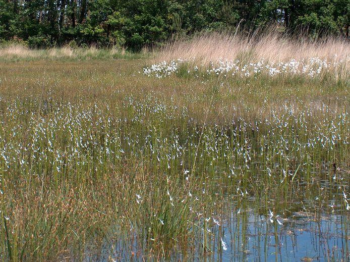 Waterlobelia's in het Karregat, een jaar of vijftien geleden.
