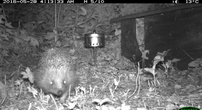 Egeltjes spelen de hoofdrol in het project Wildcamera dat dieren spot in tuinen.