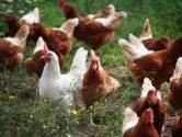 Dierenclubs: Kip mag niet de dupe zijn van schandaal