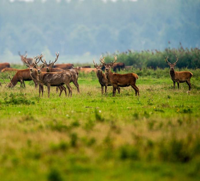 Staatsbosbeheer moet ongeveer 1800 edelherten in de Oostvaardersplassen afschieten voor 1 januari 2020.
