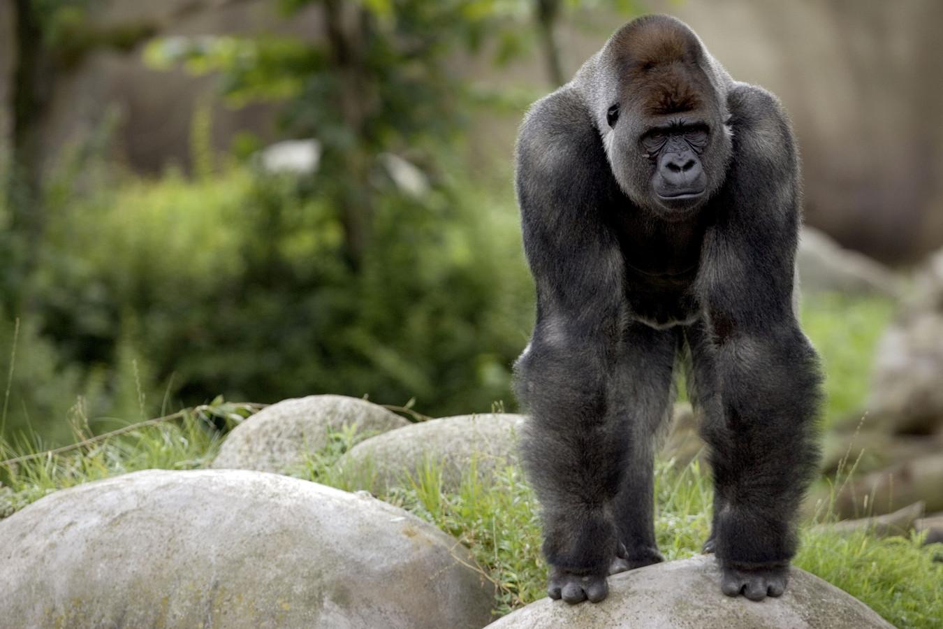 Foto ter illustratie. Het is niet duidelijk welke aap een rol krijgt in de serie.