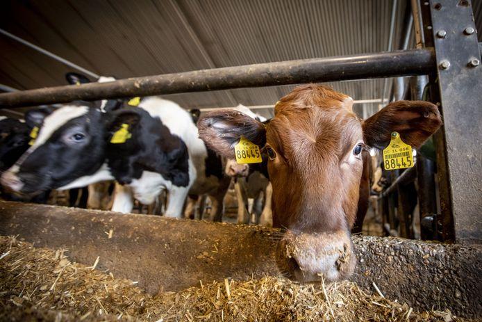 Koeien in de stal.